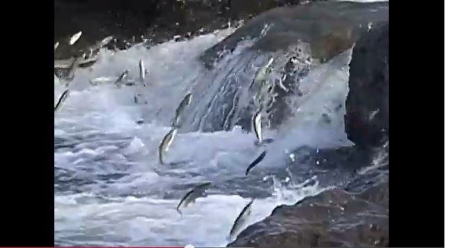 Kızarmış Balık İnci Kefali Videosu